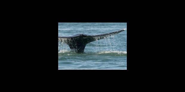 Chasse à la baleine: l'Islande menacée de sanctions commerciales aux USA - La Libre