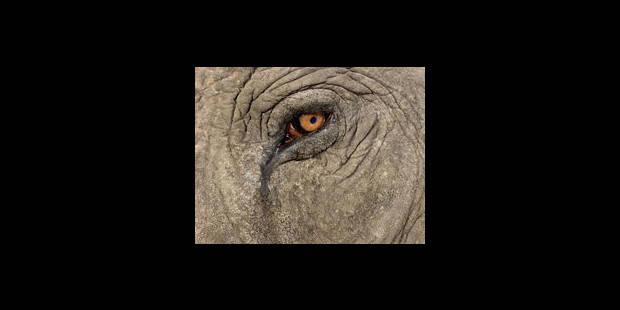Le très attendu bébé éléphant de Pairi Daiza est mort-né - La Libre