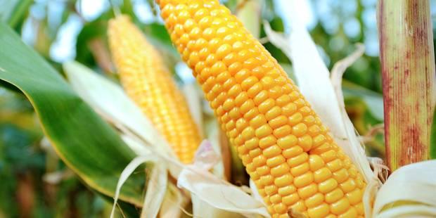 France: le Conseil d'Etat suspend l'interdiction de cultiver le maïs transgénique MON810 - La Libre