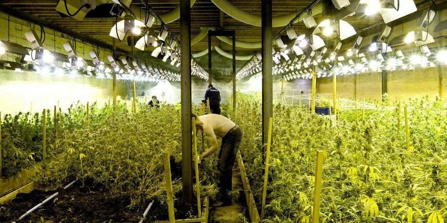 Le cannabis une culture en plein essor la libre for Guide de culture de cannabis en interieur
