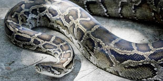 Un python sur le billard - La Libre
