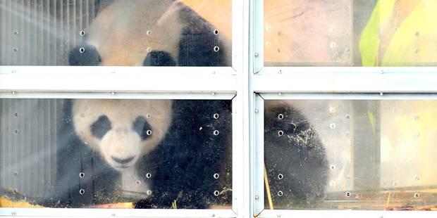 Les pandas sont arrivés à Pairi Daiza - La Libre