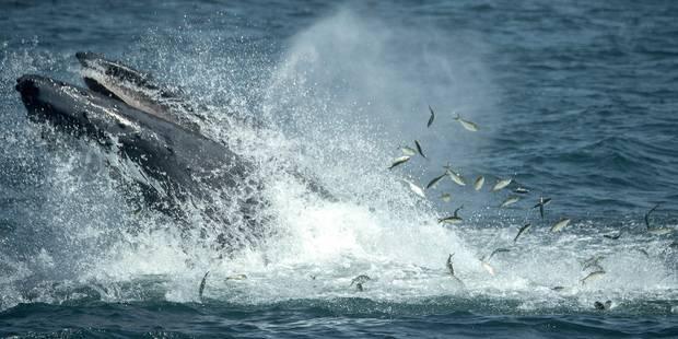 La Belgique, future arbitre baleinière - La Libre