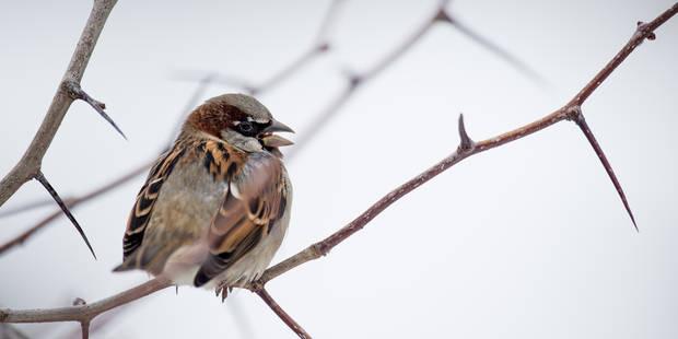 Recensement des oiseaux de jardin: la fin des moineaux en Belgique? - La Libre