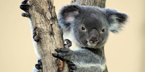 """Un koala mâle décédé au zoo d'Anvers père d'un """"bébé miracle"""" - La Libre"""