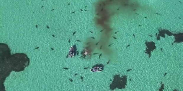 En Australie, des dizaines de requins attaquent une baleine (VIDEO) - La Libre