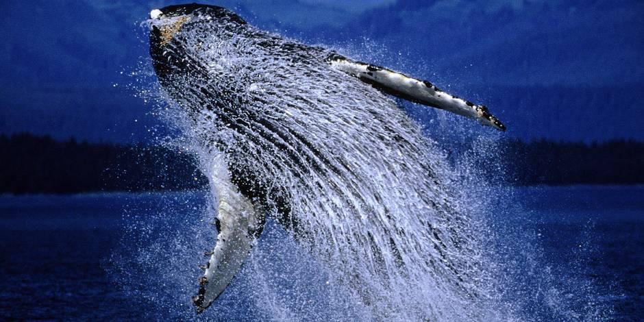 Protégeons le Chemin des baleines - La Libre