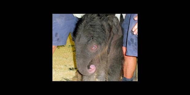 Premier éléphant conçu par insémination artificielle - La Libre