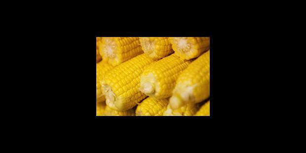 Un maïs OGM cible d'un insecte auquel il devait résister