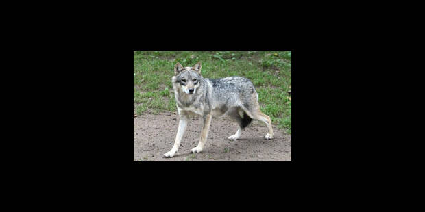 """Loup de Gedinne: """"seule une enquête ADN peut donner une certitude sur l'animal"""""""