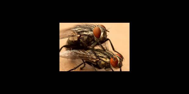 La copulation fait des mouches des proies faciles