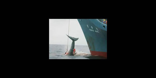 La chasse aux baleines a repris - La Libre