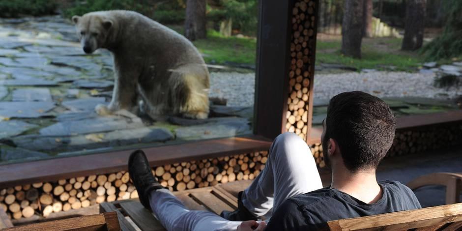 En France, la nuit chez l'ours polaire Taïko fait fureur