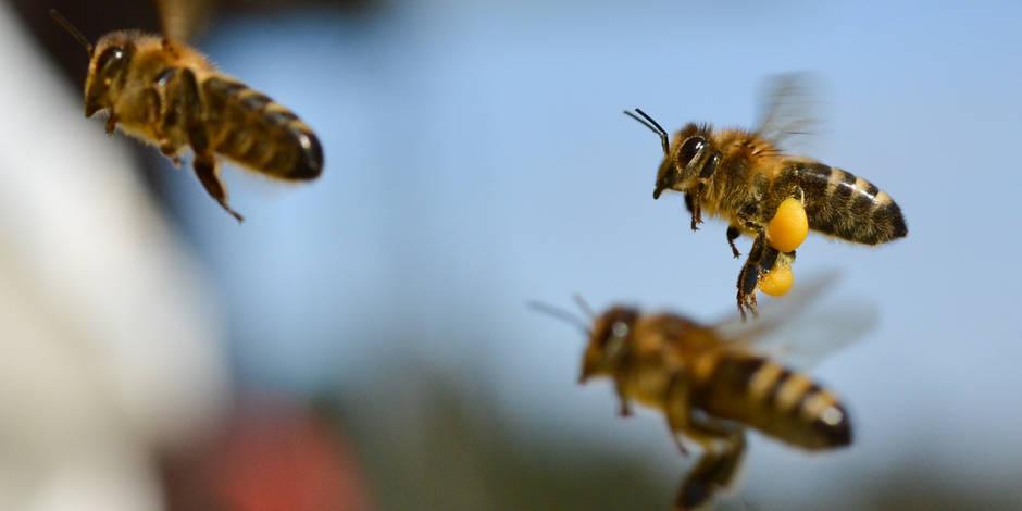Les abeilles savent compter et reconnaître un visage humain