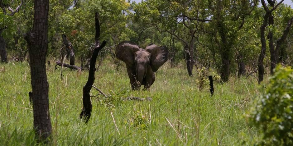 Eléphants, lions, hyènes...: massacre en cours au Bénin