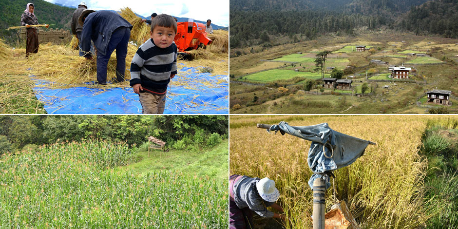 Entre l'homme et les animaux sauvages, la cohabitation est difficile au Bhoutan