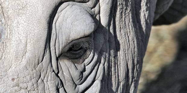 Il ne reste plus que quatre rhinocéros blanc du nord dans le monde - La Libre