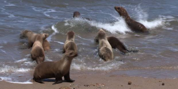 El Niño menace les phoques de Californie - La Libre
