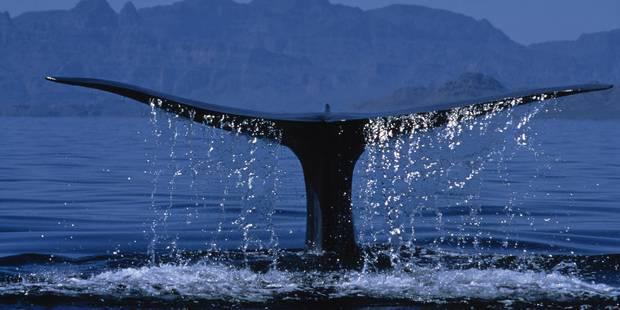 Les humains risquent de causer une extinction sans précédent de grands animaux marins - La Libre