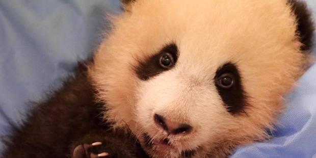 Pairi Daiza: Découvrez le nom du bébé panda - La Libre