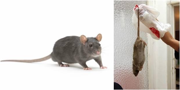 """Invasion de rats dans les rues bruxelloises: """"On en dénombre de 2 à 3 par habitant"""" - La Libre"""