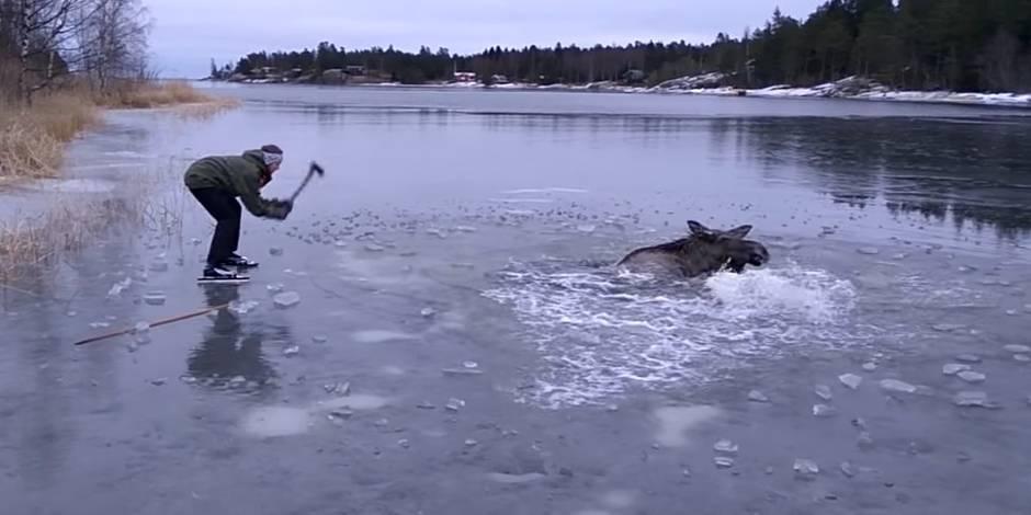 Des promeneurs sauvent un élan pris au piège dans un lac gelé (VIDEO)