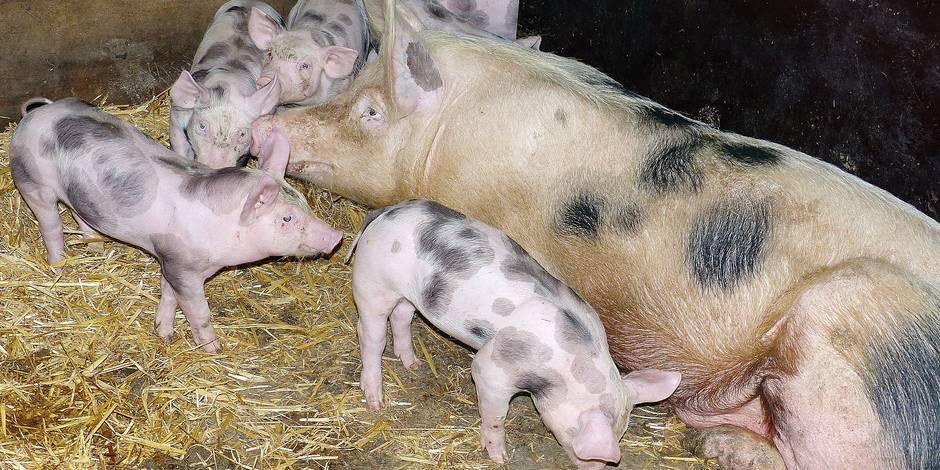 Brabant wallon : soutien au porc piétrain