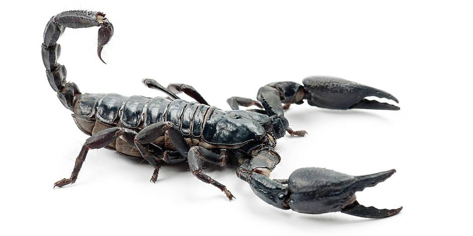 Emperor Scorpion, Pandinus imperator, against white background Reporters / Life on White