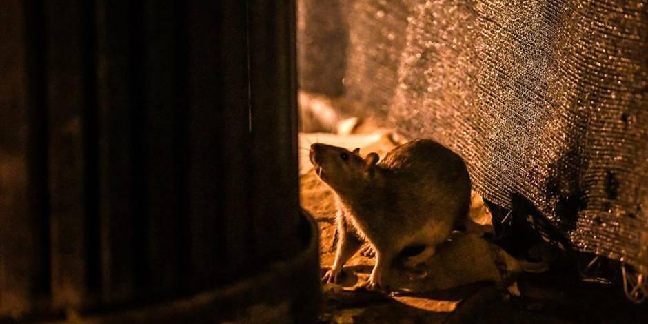 """""""Le rat ne prolifère pas. Ecrivez-le en grand"""" (RIPOSTES) - La Libre"""